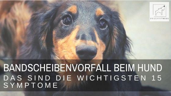 Der Bandscheibenvorfall beim Hund: hier ist schnelles Handeln gefragt! Diese wichtigen Symptome solltest du unbedingt kennen!