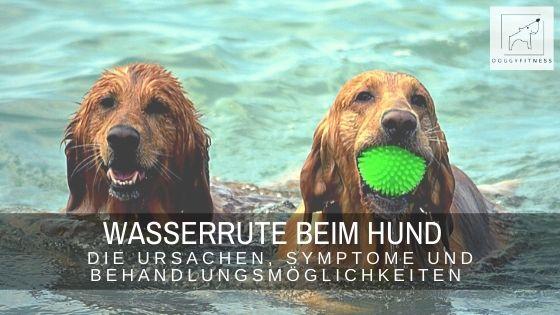 Die Wasserrute tritt besonders häufig im Sommer auf, bei Hunden die gerne Schwimmen gehen. Erfahre alles über Ursachen, Symptome & Behandlung.