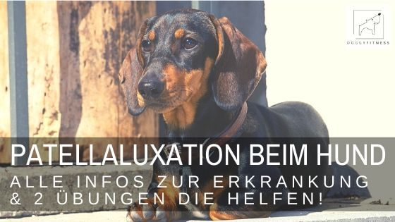 Die Patellaluxation beim Hund wird häufig übersehen - dabei ist sie für den Hund schmerzhaft und schädigt das Kniegelenk.
