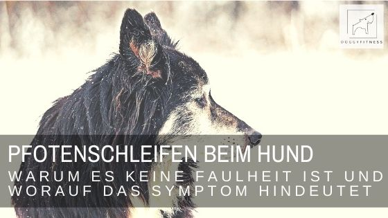 Pfotenschleifen beim Hund - ein Symptom, das man immer ernst nehmen sollte, da es auf neurologische Erkrankungen hindeutet.