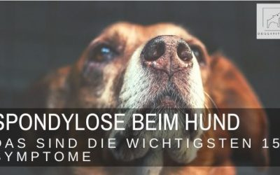 Die 15 wichtigsten Symptome für Spondylose beim Hund