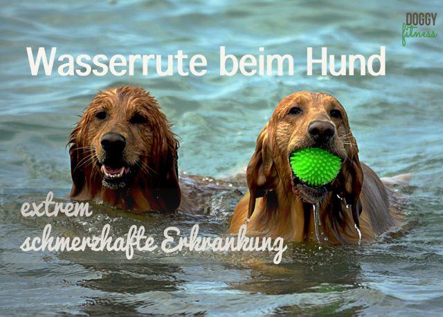 Wasserrute beim Hund – extrem schmerzhafte Erkrankung